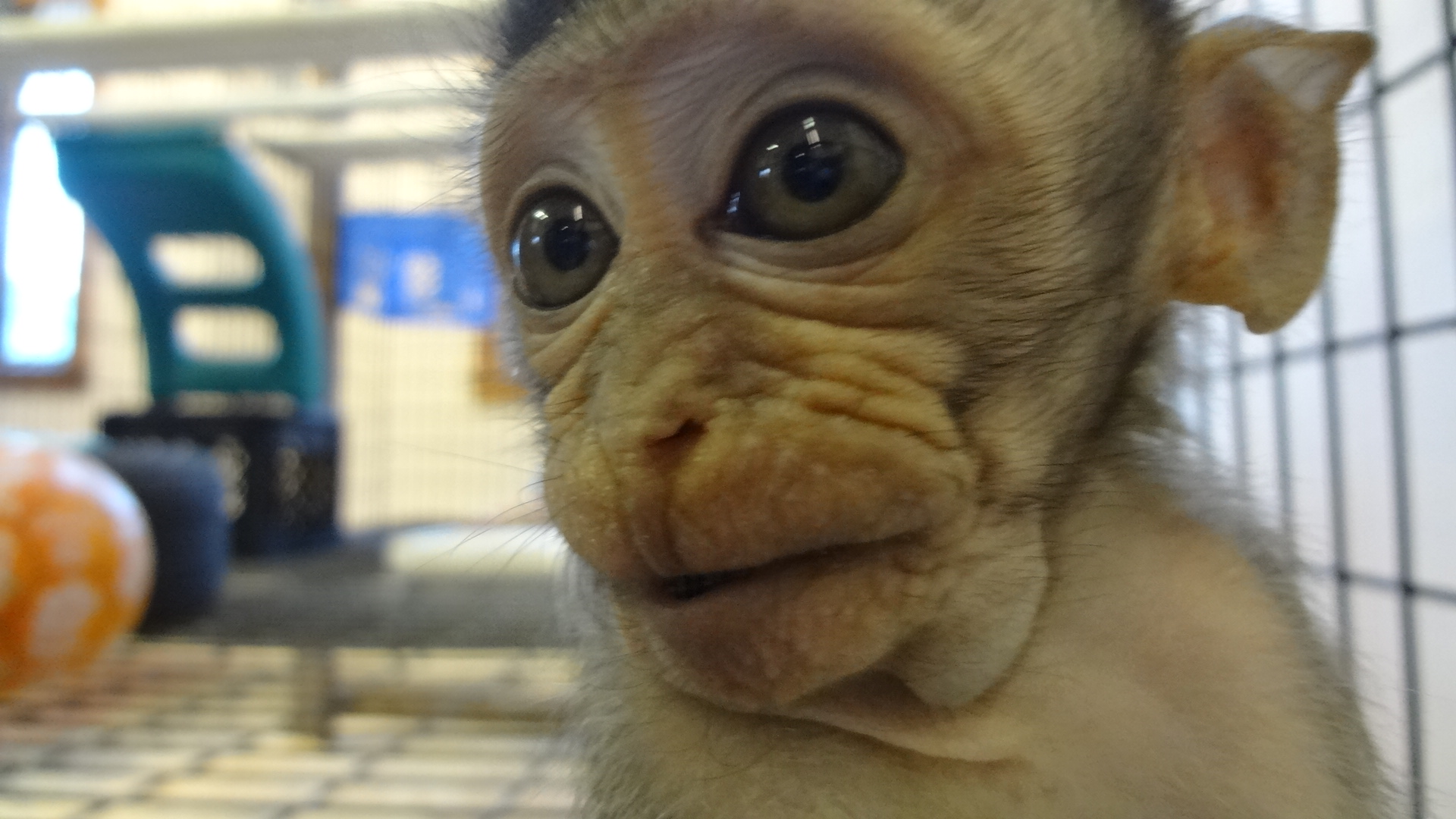 So You Think You Want A Pet Monkey or Ape? | Primate Rescue